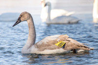 Tagged Trumpeter Swan