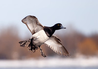 Scaup (bluebills)