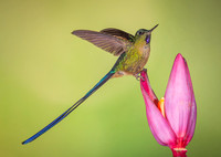 Male Violet-tailed Sylph
