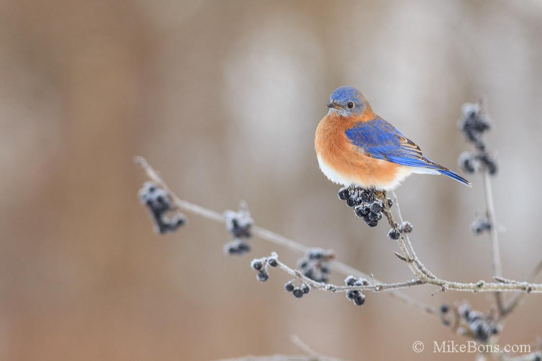Bluebirds - - Program Information